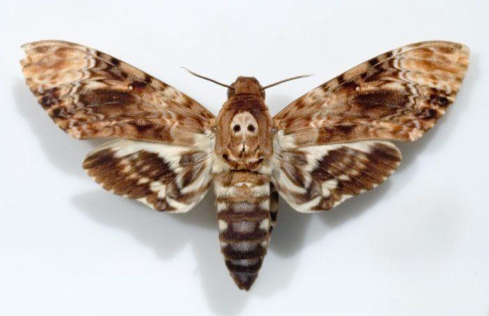 Бабочка с черепом на спине