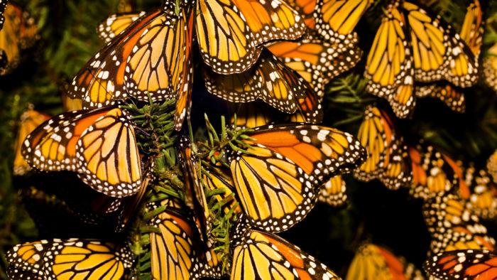 Бабочки-монархи готовятся к перелету