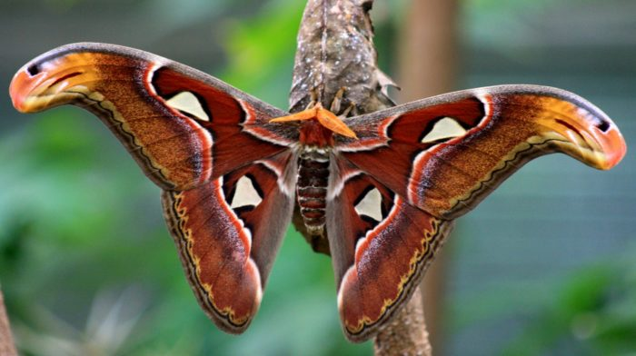 Атлас бабочка