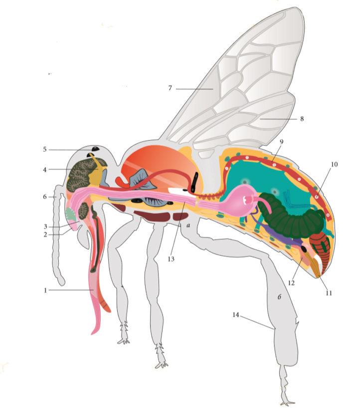 Анатомия пчелы