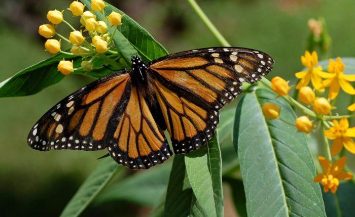 Бабочка-монарх