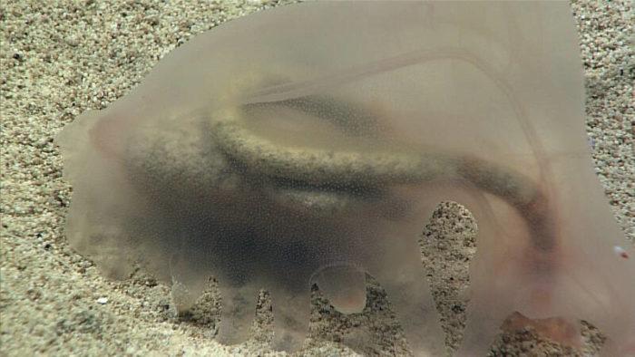 невероятные формы жизни, найденные на глубине Тихого океана