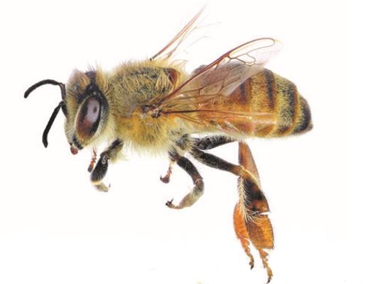 Тело пчелы
