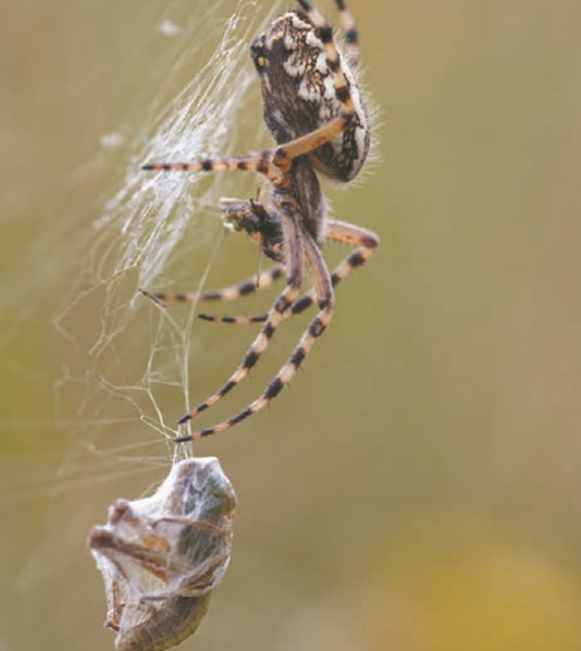 Опутав насекомое своей паутиной