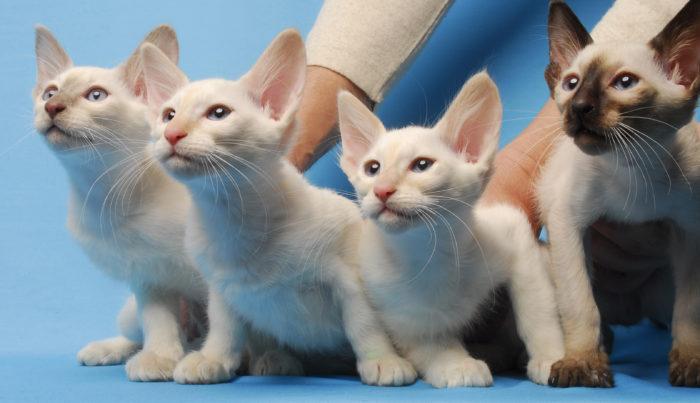 Балийская (балинез) кошка
