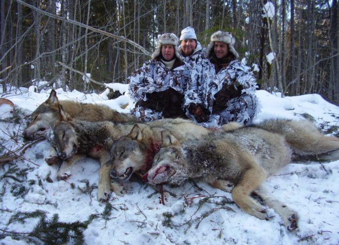охота на волков
