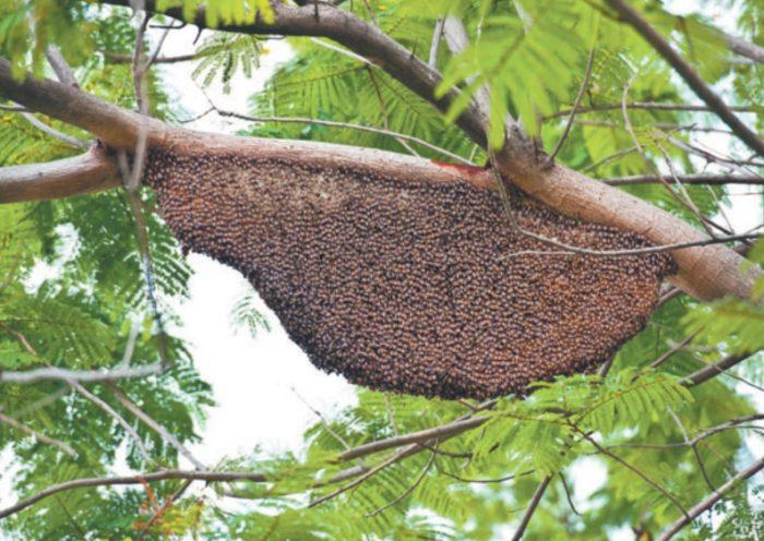 Пчелы тропиков иногда обходятся без дупла