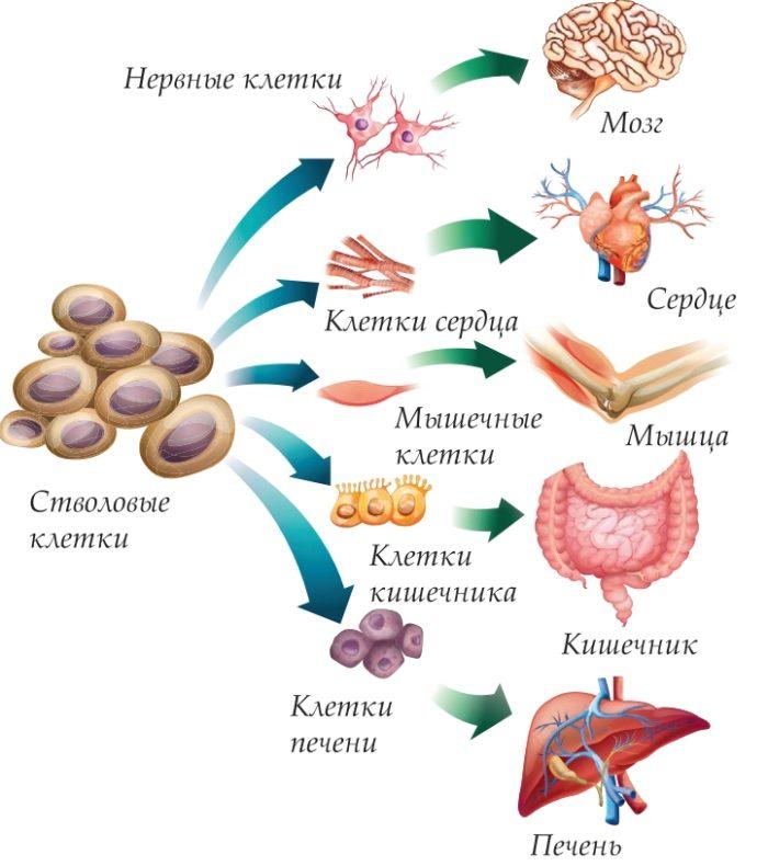 Образование разных групп клеток