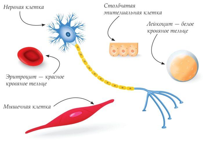 Разнообразие форм клеток