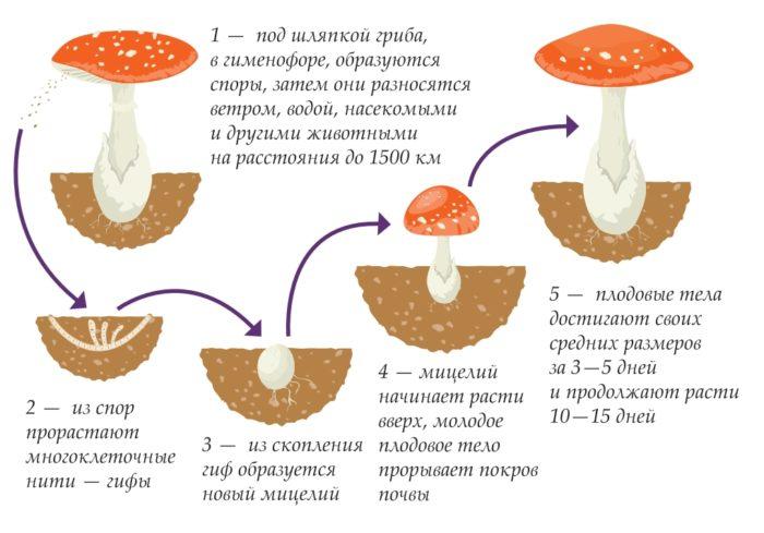 Жизненный цикл гриба