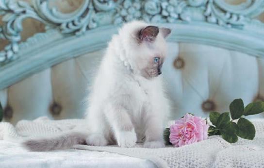 кошка и роза