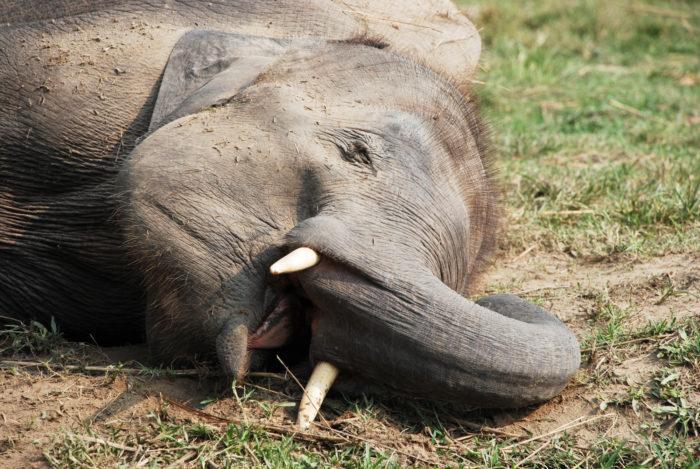 Как слоны спят