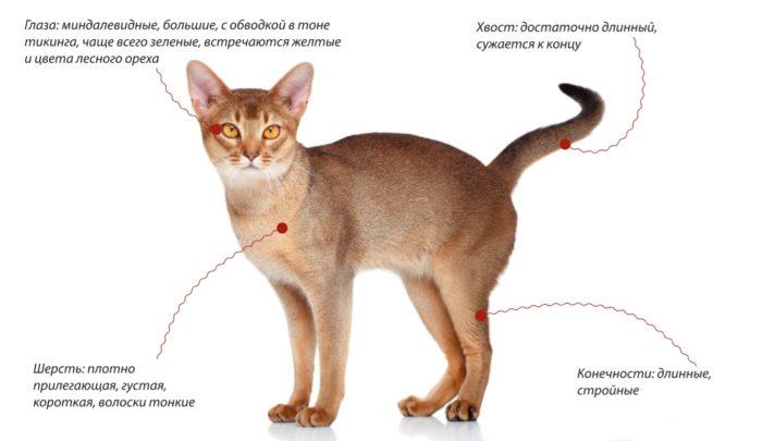 Абиссинская кошка внешние признаки