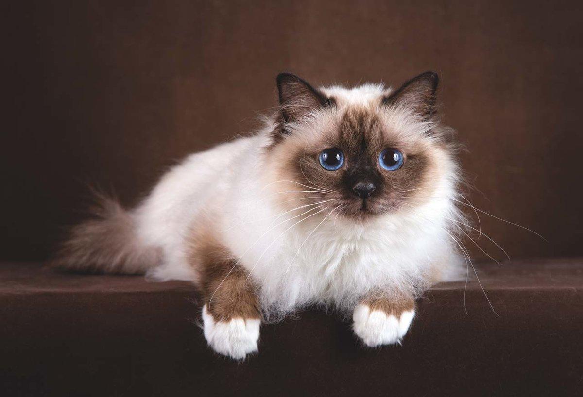 """Результат пошуку зображень за запитом """"Бирманская кошка"""""""