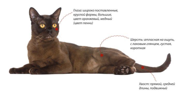 Бомбейская кошка. Внешние признаки