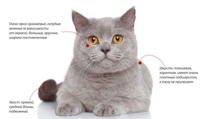 Британская короткошерстная кошка. Внешние признаки