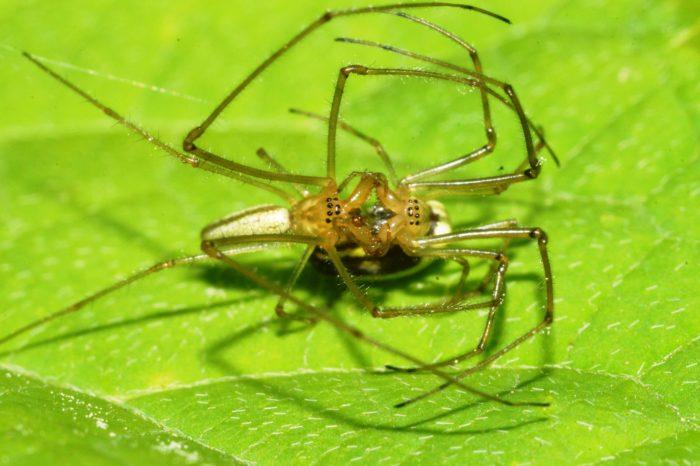 самка паука съедает самца после спаривания