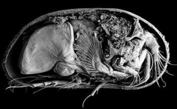 Найдено хорошо сохранившееся ракообразное возрастом 430 миллионов лет