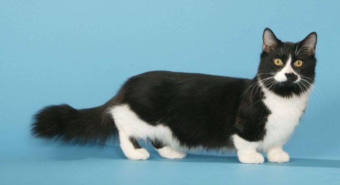 манчкин порода кошек