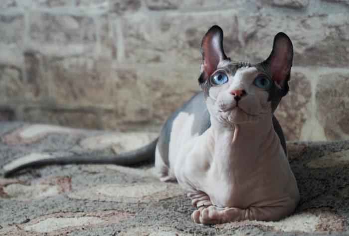 Эльф (порода кошек)