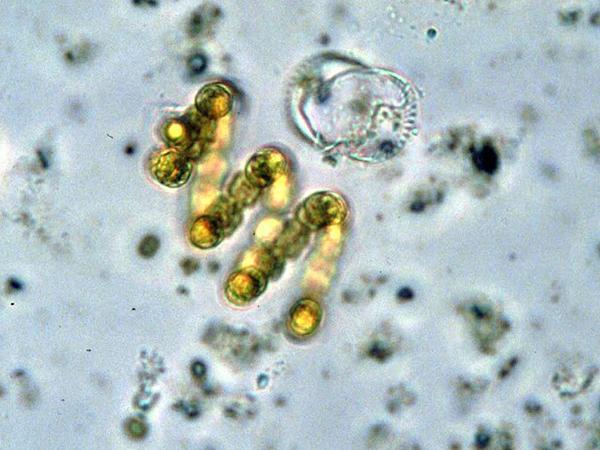 сине-зеленые водоросли вырабатывают кислород