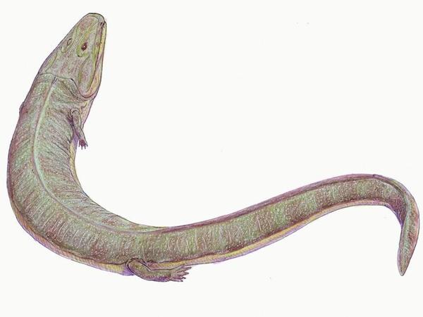 Один из представителей стегоцефалов, грирерпетон
