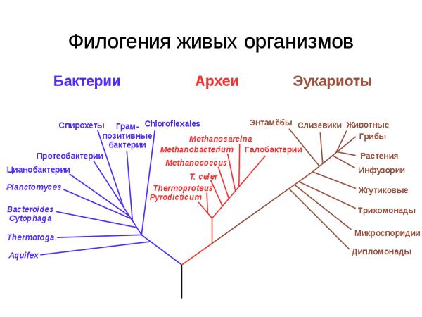 Филогенетическое дерево, построенное на основании анализа рРНК, показывает разделение <a href=