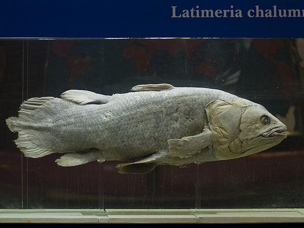 Латимерия, находящаяся в России в Институте океанологии им. П. П. Ширшова РАН