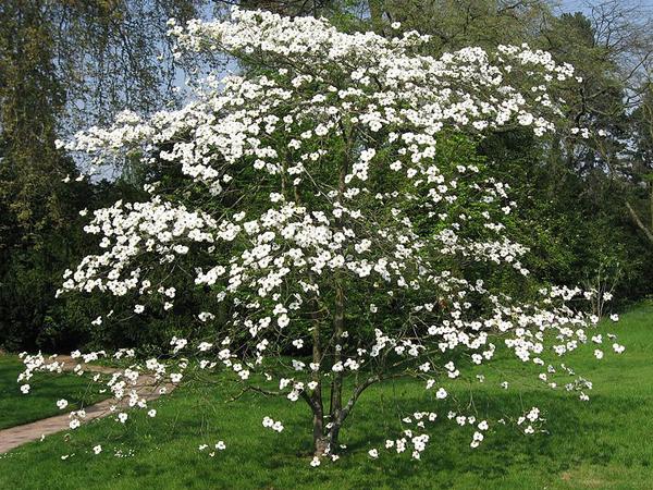 Кизиловое дерево в цвету