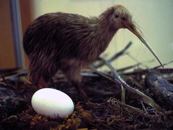 Киви с яйцом музей Новой Зеландии