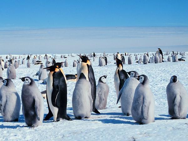 Императорские пингвины с птенцами в Антарктиде