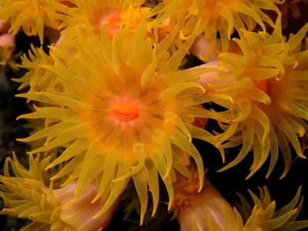 Высунувшийся из раковины коралл