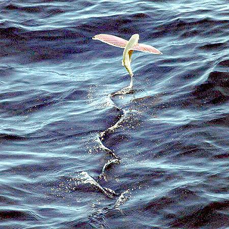 Взлетающая летучая рыба