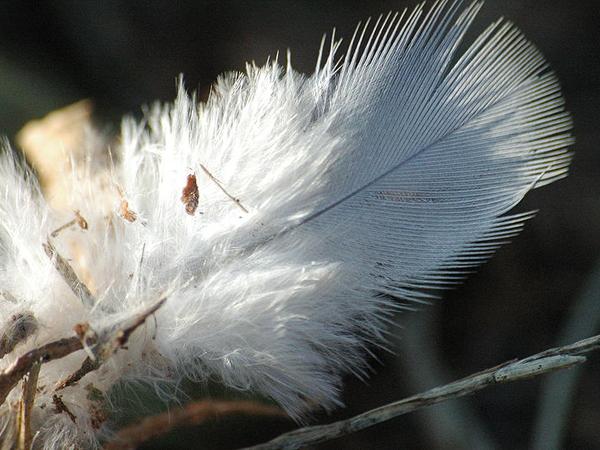 Перо, использованное для строения гнезда