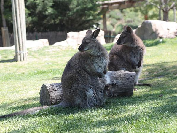 Семья кенгуру