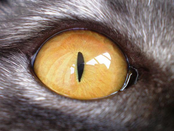 Глаз домашней кошки