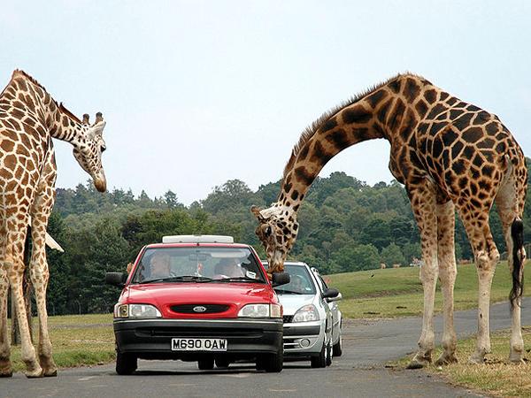 Жирафы в парке сафари