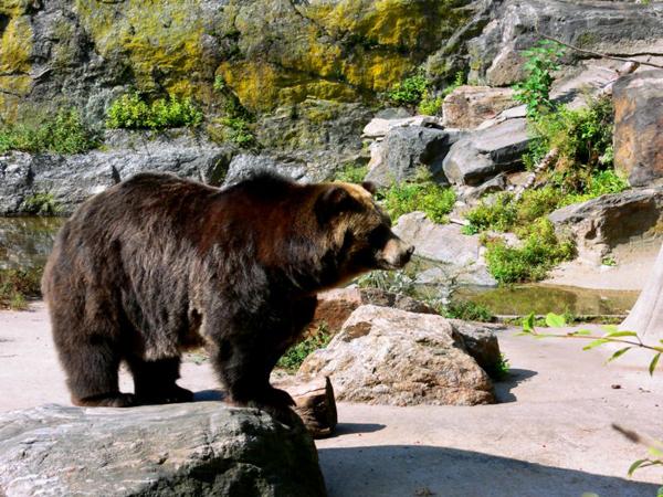 Медведь гризли (самка)